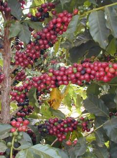 Grão de café em plantação irrigada pelos produtos NaanDanJain