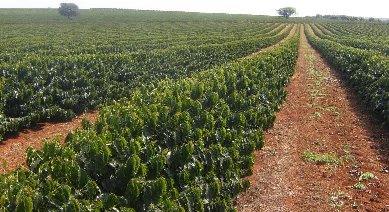 Plantação de cultura de café
