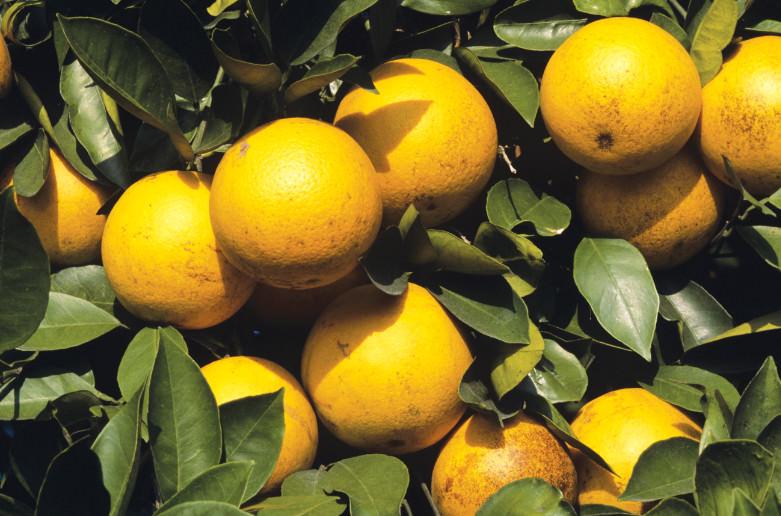Os produtos NaanDanJain atuam nas plantações de citrus