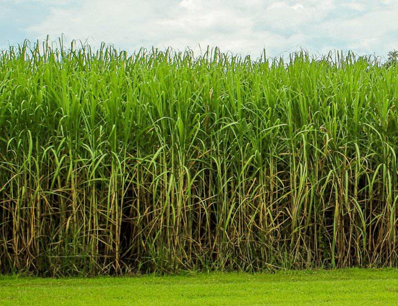 Plantação e cultivo de cana-de-açúcar